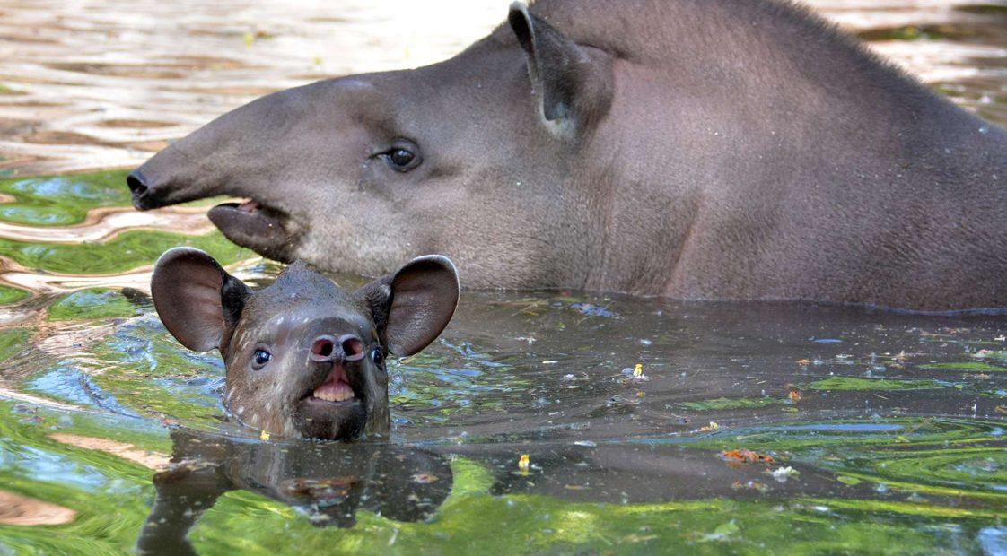 Hada kis tapír anyjával Szukival úszik